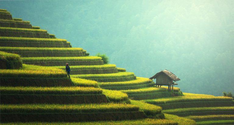 Monoculture rice terrace.